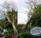 REDACCION DELAZONAORIENTAL.NET Afirman un gran árbol está encima del alumbrado eléctrico Santo Domingo Este.- Vecinos del residencial Villa Progreso del Este denunciaron este martes que Edeeste ha hecho caso omiso […]